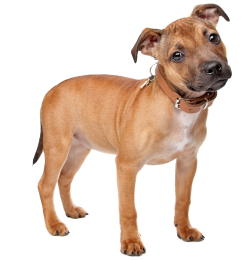 Tan staffy puppy standing